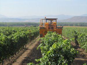 Vendimia mecánica en viñedo riojano con alto rendimiento