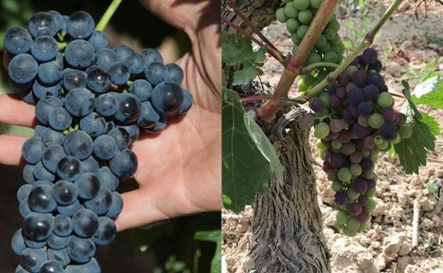 A la izquierda, tempranillo casi listo de Aldeanueva. A la derecha, un racimo de La Rioja Alta más occidental y, junto a éste, otro en la misma cepa cuyos granos aún no han comenzado a cambiar de color, lo que muestra las diferencias madurativas extremas.
